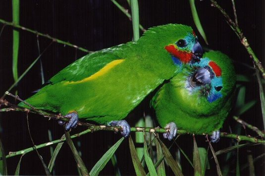 papagali de smochin